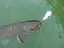 catfish_63_1.jpg