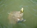 turtle_334_1.jpg